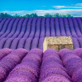 Lavender field3 by Igor Rosina - Landscapes Prairies, Meadows & Fields ( field, purple, house, morning, levender )