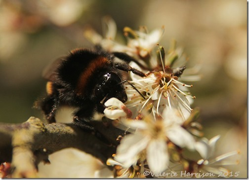 16-Buff-tailed-bumblebee
