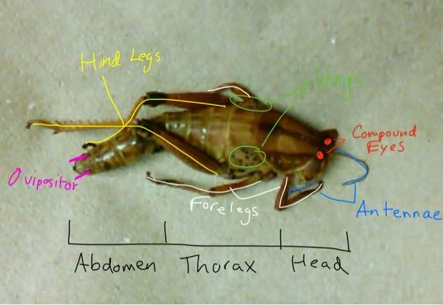 Bio swag: Grasshopper Dissection Procedure