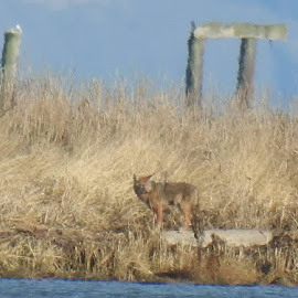 Coyote across the water at the Dungeness Landing. Sequim, Wa. by Shelby Swete - Animals Other