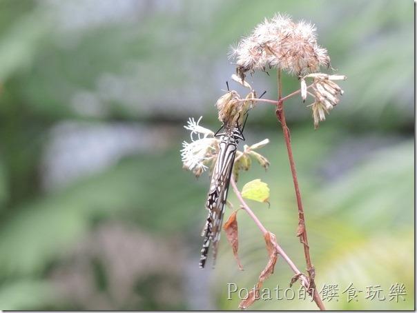 菁寮國小的蝴蝶園-絹斑蝶與花兒6