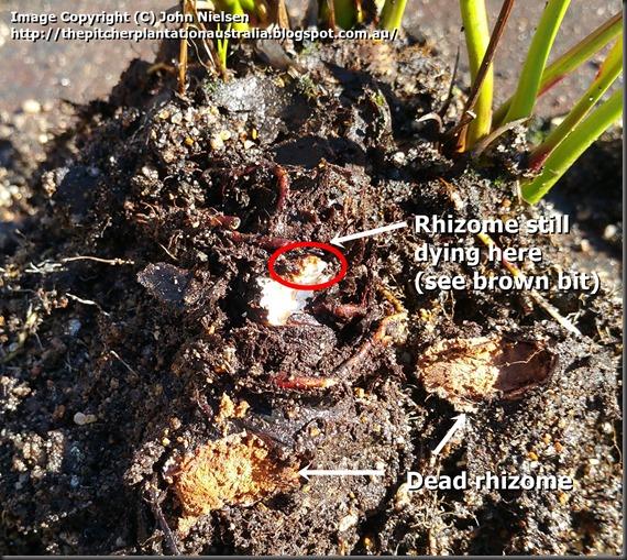 Dying rhizome