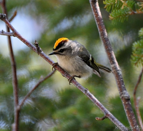14. goldencrowned kinglet-kab
