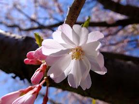 冬桜 (2015年)