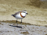 Chestnut-banded plover at the Berdlif salt pans (photo by Clare)