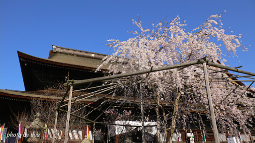 善光寺の桜2