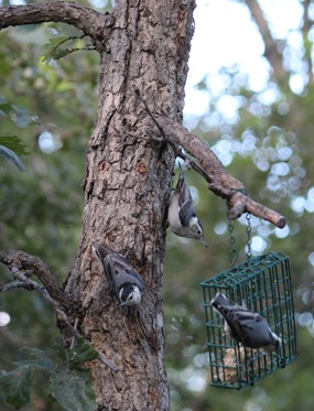 Three Nuthatches
