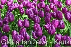 Glória Ishizaka - Keukenhof 2015 - tulipa 38