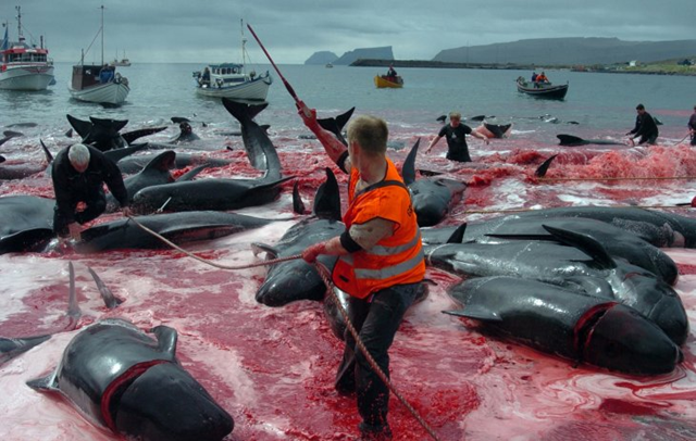 Inhabitants of Faroe Islands catch and slaughter pilot whales during the traditional 'Grindadrap' (whale hunting in Faroese) near Sandur on Sandoy island, 5 June 2012. Photo: Andrija Ilic / REUTERS