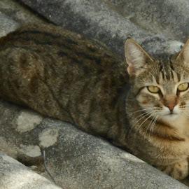 Cat on the hot tin zinc by Joao Sousa - Animals - Cats Portraits ( cats, cat, pet, pets, kittens )