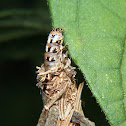 Bag worm or Case moth larva