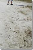 Gator tracks