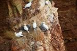 Brutkolonien auf Helgoland - Basstölpel (auch Jungtiere)