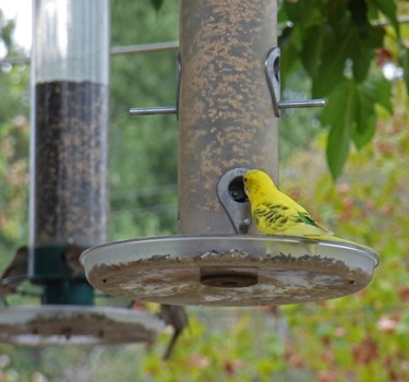 Yellow Bungie/Parakeet at feeder