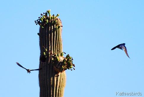 3. DSC_0450 PUMA Corona de Tucson 2008