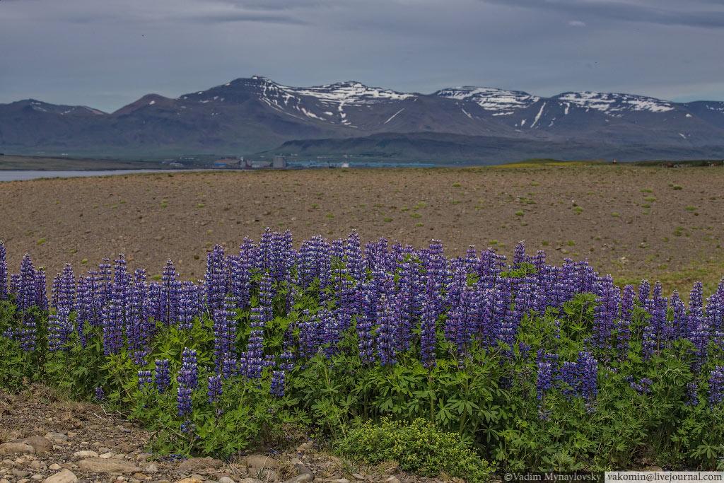 Первые люпины попавшиеся нам на кольцевом маршруте вокруг Исландии