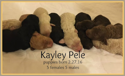 Gorgeousdoodles Kayley puppies