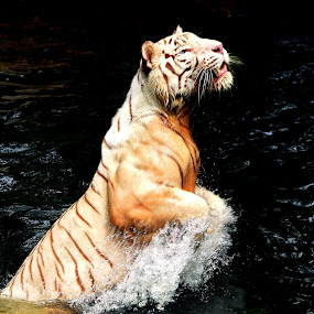 Tiger Jump by Alit  Apriyana - Animals Other
