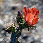 ArizonaCactusFlower.jpg