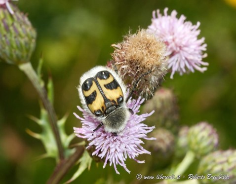 7_Trichius fasciatus_Ortanella-011 (FILEminimizer)
