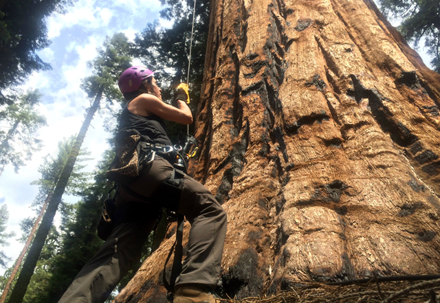 UC Berkeley tree biologist Wendy Baxter is about to begin her ascent of a giant sequoia. For the first time in Sequoia National Park's history, the trees are showing visible signs of exhaustion due to the record drought. Photo: Ezra David Romero / Valley Public Radio