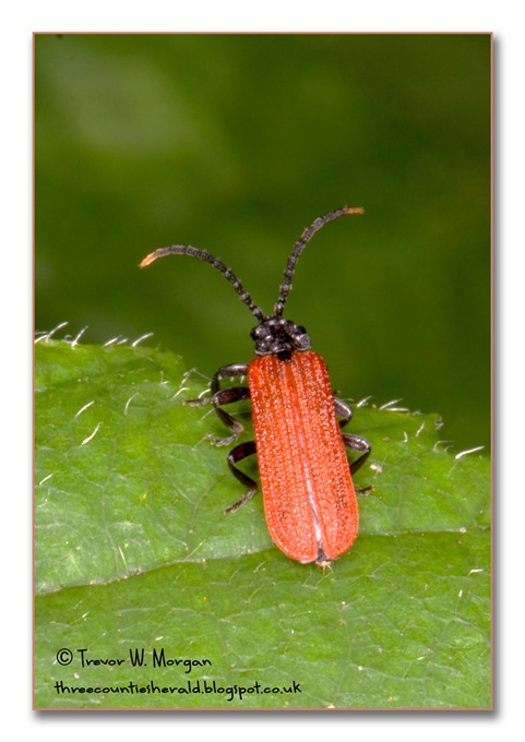 Bug Affair 8 Rarest Net WB