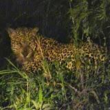 LeopardEncounter
