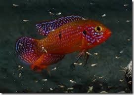 be-ca-canh-jewel_cichlid_african_jewelfish_cakimcuongdo004-be-thuy-sinh
