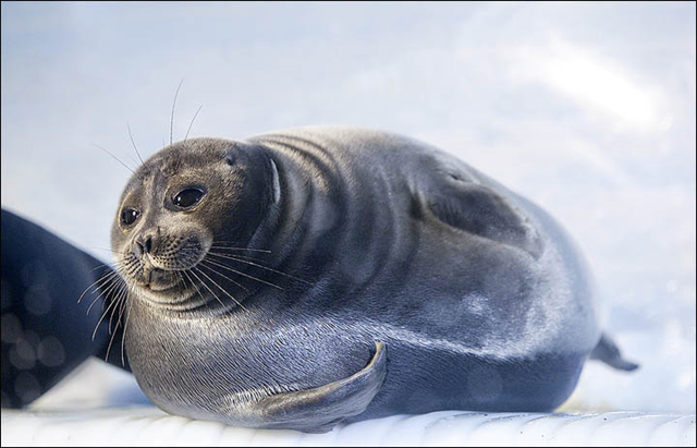 Lake Baikal seal. The Baikal seal is one of three freshwater seal species in the world, endemic to Baikal. Photo: Siberian Times