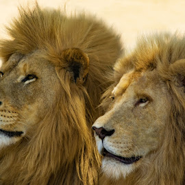 by Claudia Lothering - Animals Lions, Tigers & Big Cats