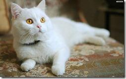 77- gatos blanco o crema (8)- buscoimagenes