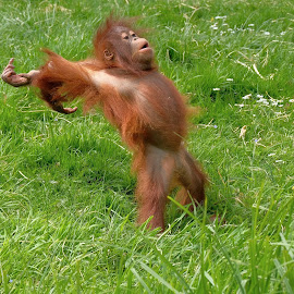 falling on his back by Fred Goldstein - Animals Other Mammals ( zoo, humour, orangutan, france, baby, monkey )
