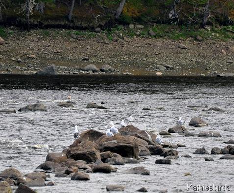 9. gulls on the rocks-kab