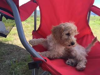 gorgeousdoodles labradoodle puppy