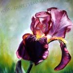 Iris pastel sec, 16  x 12 po.
