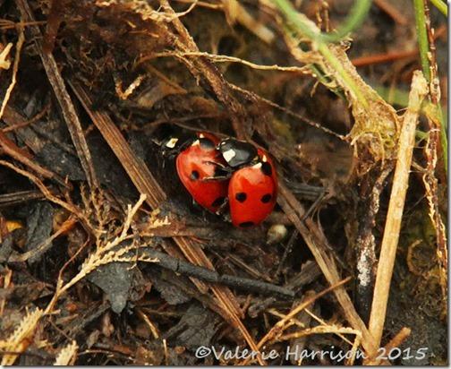 3-7-spot-ladybirds