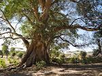 Ficus tree at Bishangari