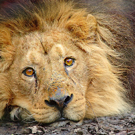 Couché by Gérard CHATENET - Animals Lions, Tigers & Big Cats