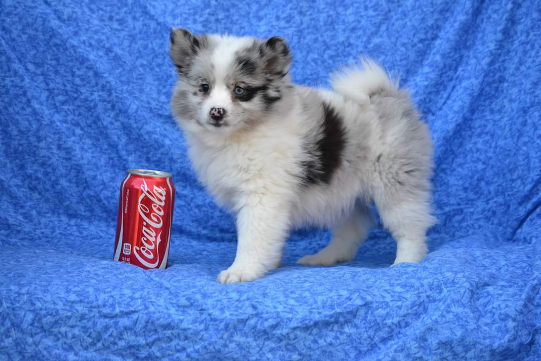 New Puppy Arrivals New Pomsky Puppies For Sale Youtube Video