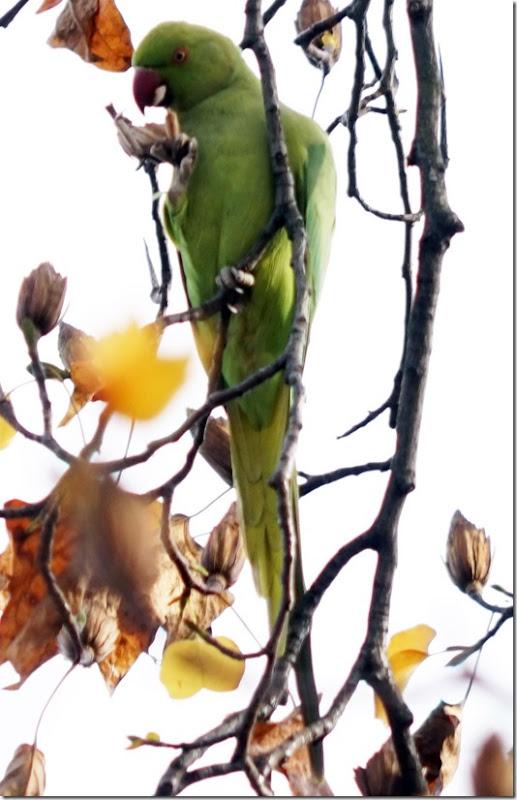 paris email parrot at bois vencennes 110915 00001