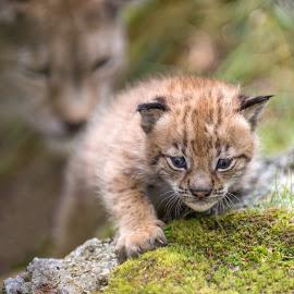 Lynx 3 weeks by Anngunn Dårflot - Animals Other Mammals