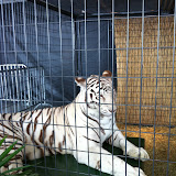 A white tiger at Navy Pier Park in Chicago 01152012b