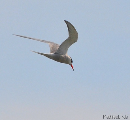 7. common tern-kab