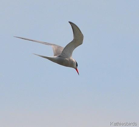 7. common tern-kab