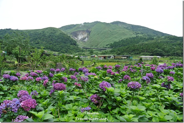 陽明山繡球花 (75)