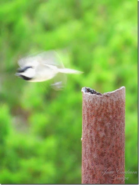 Carolina_Chickadee_nestspot