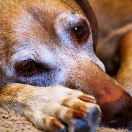 Ruby by Cora Westermann - Animals - Dogs Portraits ( dogs, old dogs, pets, vizsla,  )
