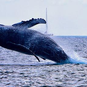 Grandeur of the Humpback by Charline Ratcliff - Animals Sea Creatures ( humpback, humpback whale, maui, sea life, aquatic, nature, sea creature, ocean, whale, hawaii, mammal,  )
