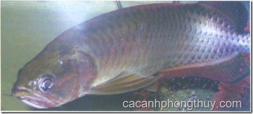 chủng loại cá rồng Phi Châu Long