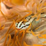 Klingfish